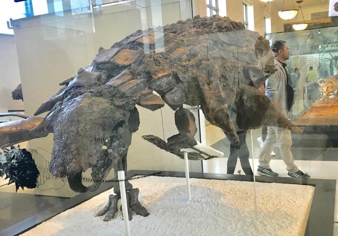 アンキロサウルス – ケラトプスユウタの恐竜旅行ブログ