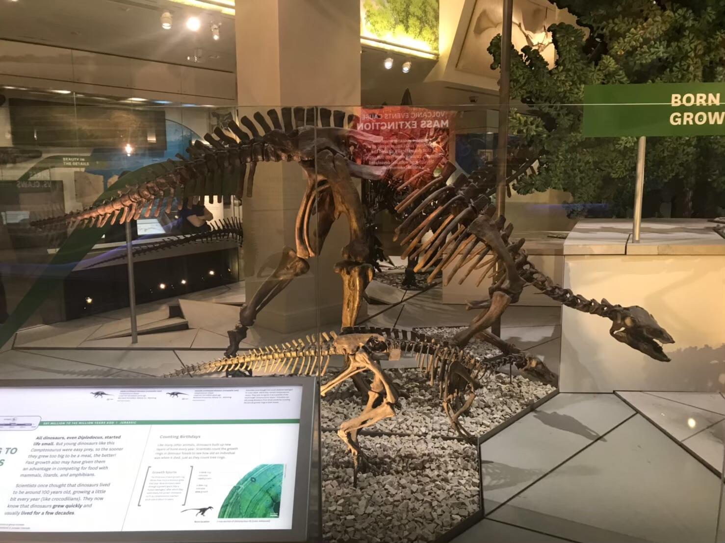 USNM #6 第二、第三のカンプトサウルス